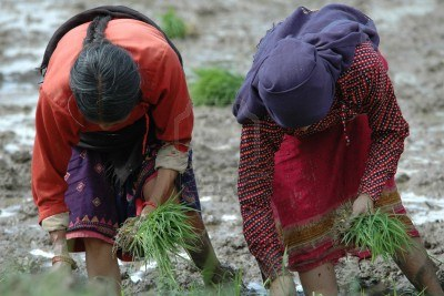 women-planting-rice-in-bhaktapur-in-kathmandu-valley-nepal